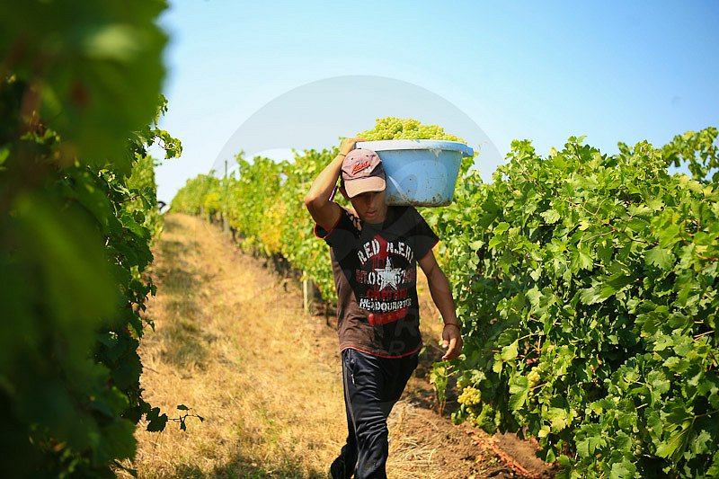 grapes harvested in Recas hills